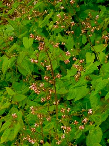 Epimedium alpinum 'Little Shrimp'