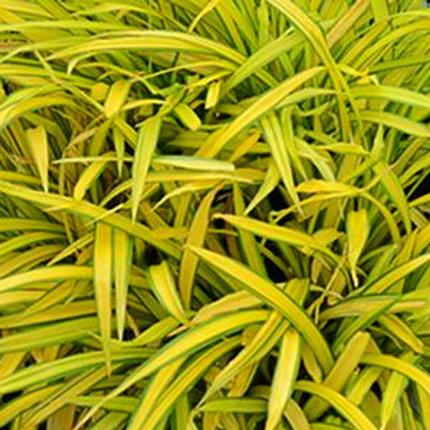 Carex siderosticha 'Bannana Boat'