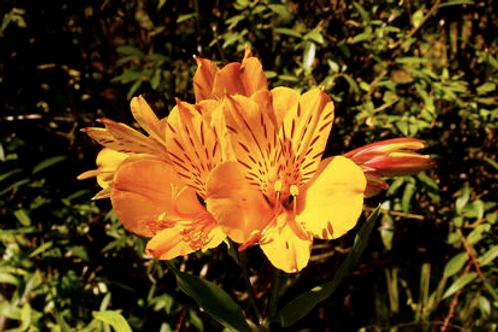 Alstroemeria 'Yellow King'