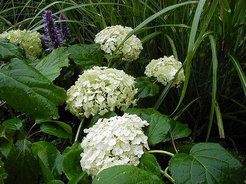 Hydrangea 'Annabel'