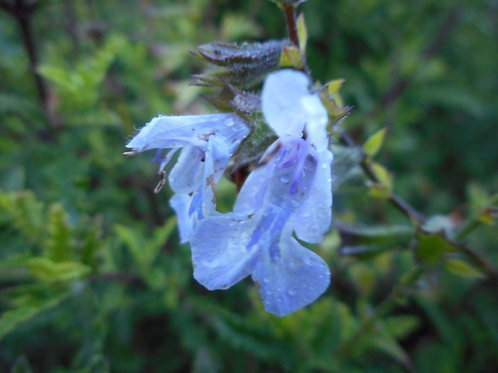 Salvia x Namaensis 'Finngrove'