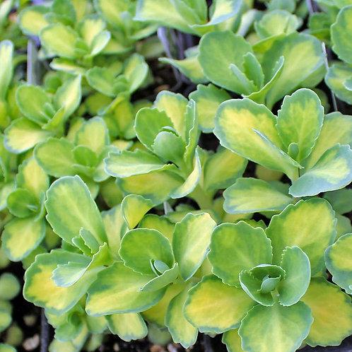 Sedum alboroseum 'Aureovariegata'