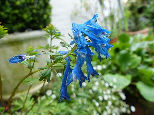 Corydalis 'Blue Line'