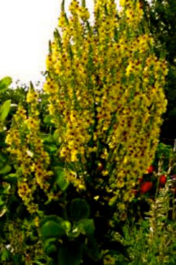 Verbascum oylmpicum