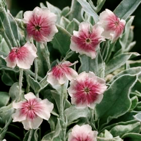 Lychnis coronia 'Oculata Group'