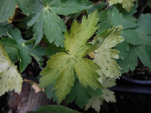 Geranium phaeum 'Taff's Jester'