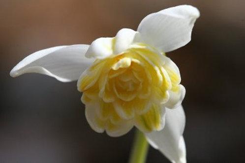 """Galanthus nivalis """"Lady Elphinstone"""""""