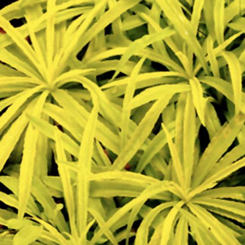 campanula Persicifolia 'Kelly Gold'
