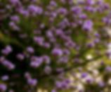 perennial plants australia