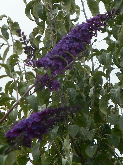 Buddleia 'Dark Night'