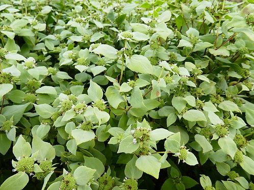 pycnanthemum muticum