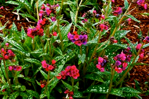 Pulmonaria saccharata 'Raspberry Splash'