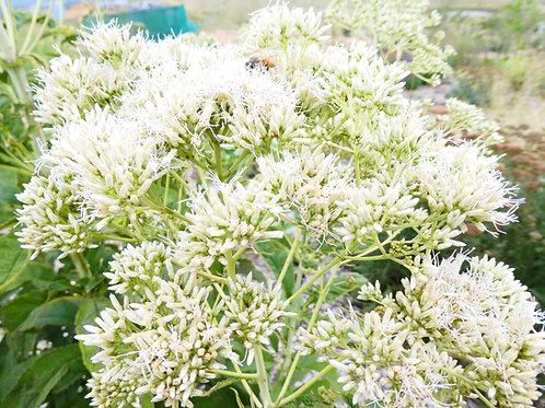 Eupatorium maculatum 'Joe White'