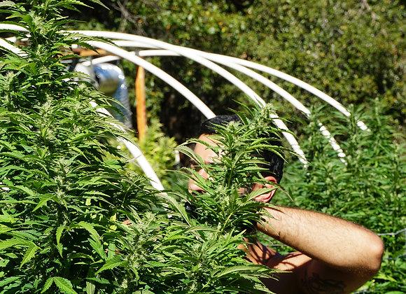 Clases Auto-cultivo de Cannabis Medicinal
