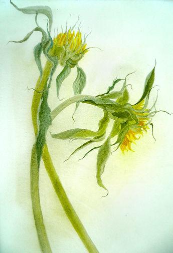 English Sunflowers