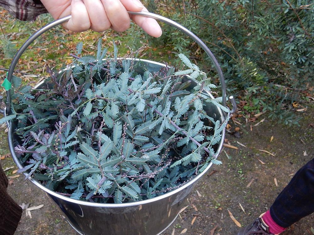 草木染め用に採取したミモザの葉