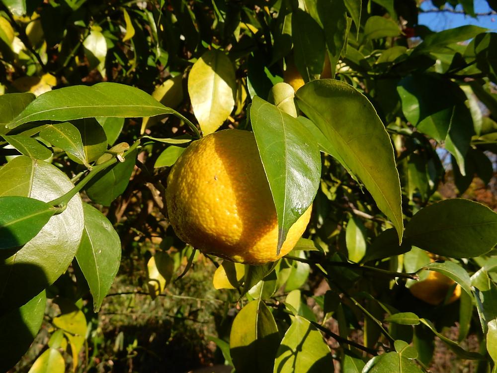 木になる熟した柚子の実