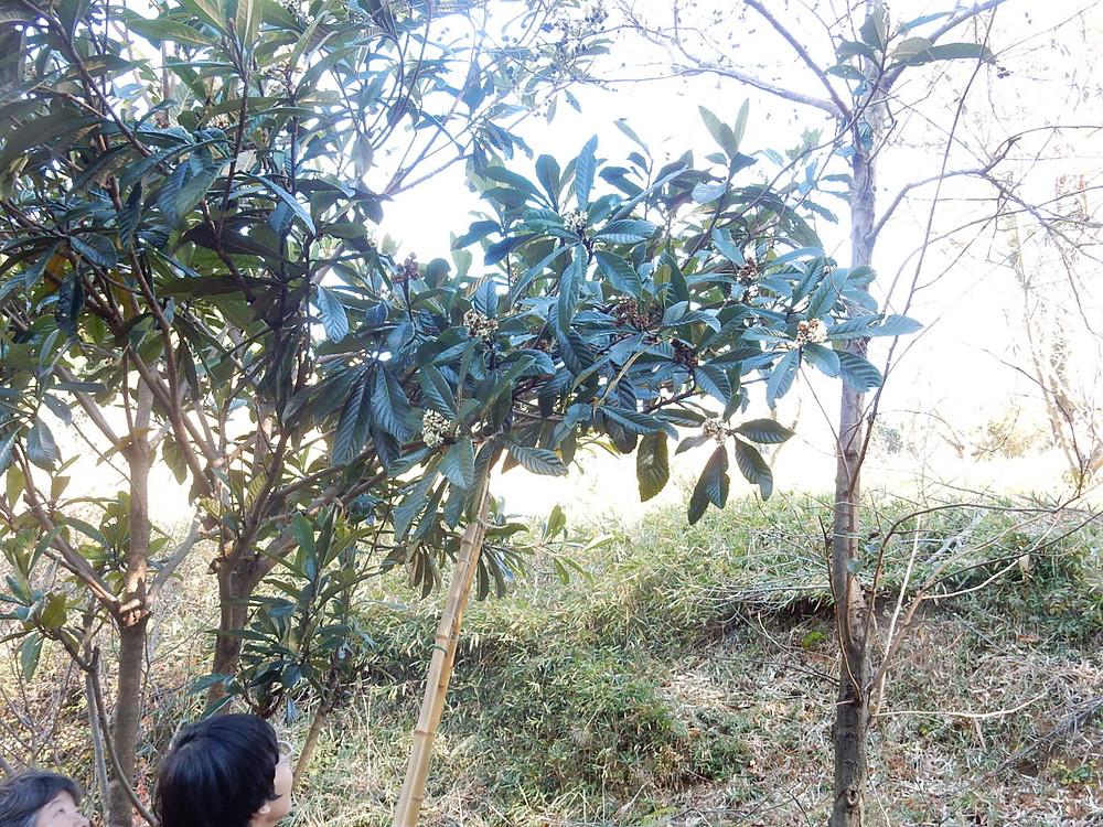 草木染め用にびわの葉を伐採