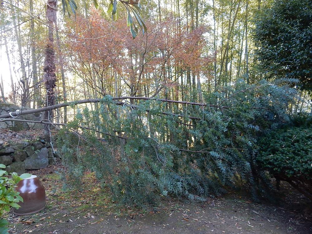 大型台風で倒れたミモザの大きな木