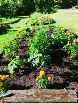 leafy greens surrounded by marigolds