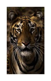 Tiger profile, tadoba andhari
