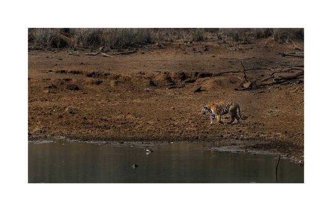 mayas tiger, near lake tadoba