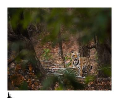 tiger in habitat, bandhavgarh