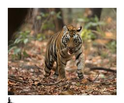 tigress bandhavgarh