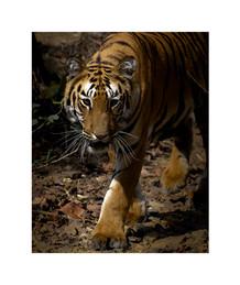 tiger close up tadoba andhari