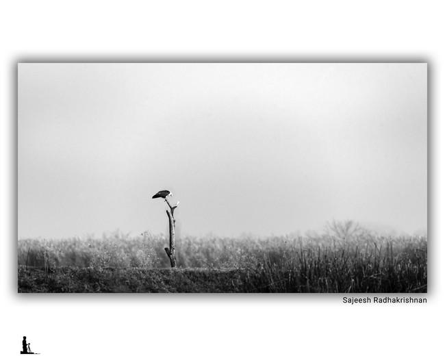 brahminy kite minimalistic hosakote