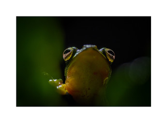 malabar gliding frog, agumbe