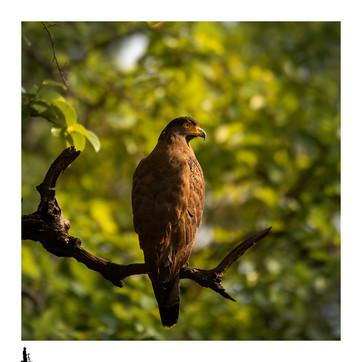 serpent eagle bandhavgarh