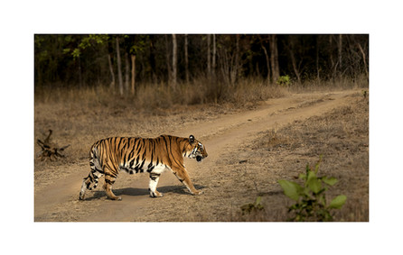 tiger walking tadoba andhari