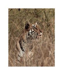 tiger close up, tadoba andhari