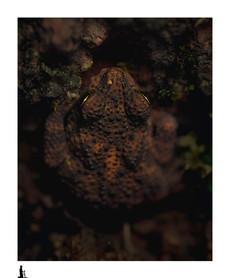 toad, amboli