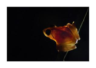 Wayanad bush frog, creative image, agumbe