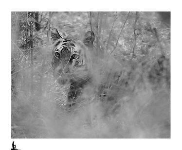eyes of tiger, bandhavgarh