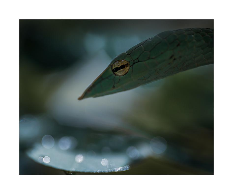 green vine snake, agumbe