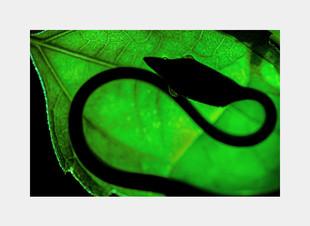 Green vine snake, agumbe- creative image