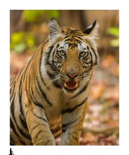 tiger close up bandhavgarh