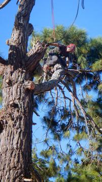 Pine-tree-removal.jpg