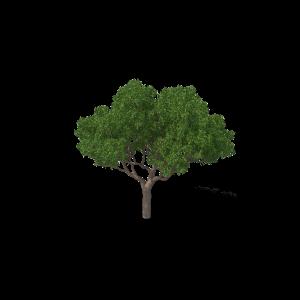 Eucalyptus Tree.H03.2k.png