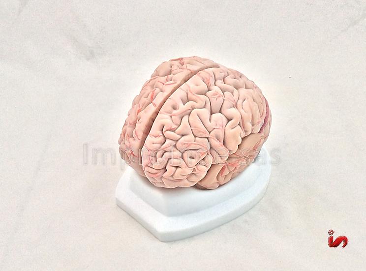 Cerebro con Arterias Desmontable 8 Partes