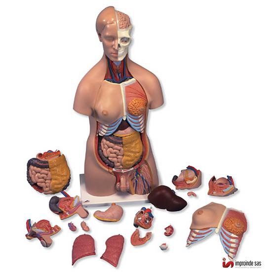 Torso Humano (3 versiones)