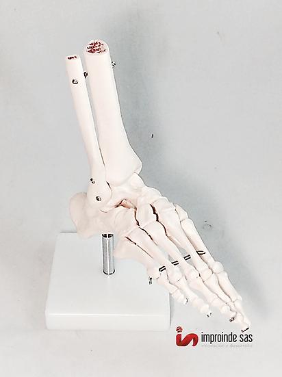 Pie Humano con Músculos y Ligamentos