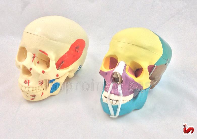 Cráneo Humano Coloreado (2 Versiones)