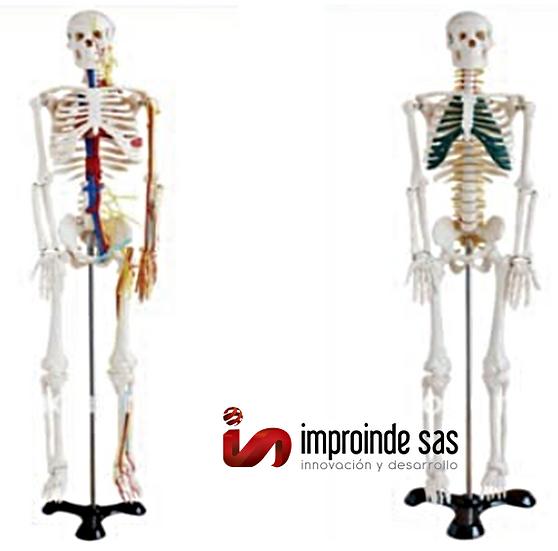 Esqueleto Humano 85cms (3 Versiones)