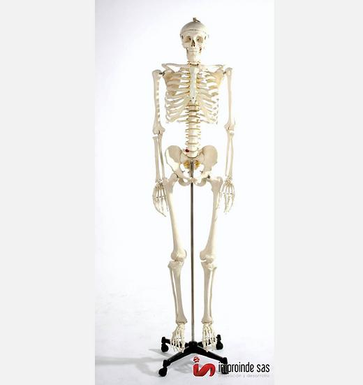 Esqueleto Humano Tamaño Natural (2 Versiones)