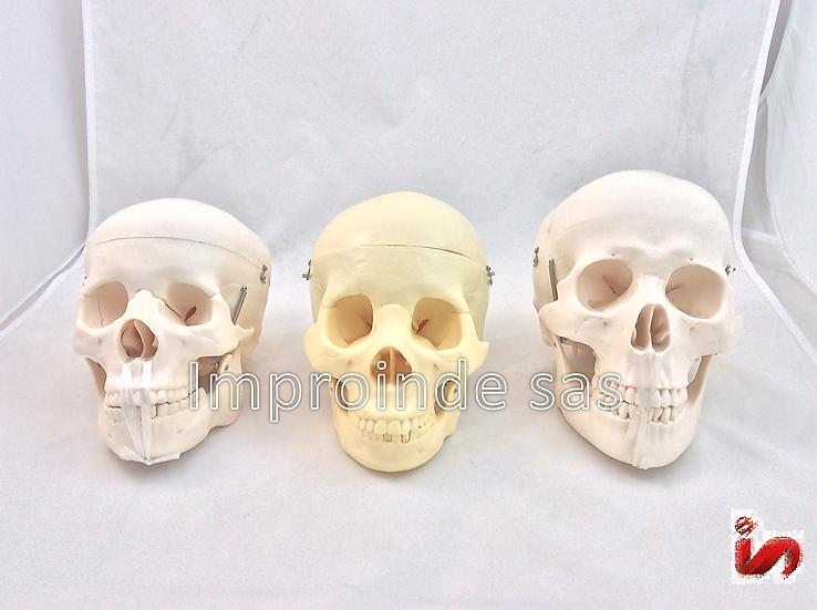 Cráneo Humano Estandar (3 Versiones)