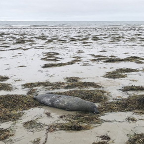 Seal Mortality Gulf Of Maine, 2018